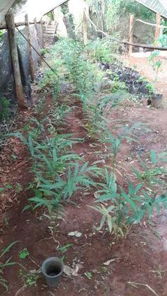 Ataare (aframomum melegueta) pimenta-da-costa