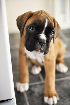 Cute Dog !!! #Boxer via Yummypets.com