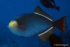 Zwarte Trekkersvis - Black Triggerfish or Black durgon