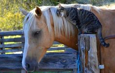 Cat Loving on a Horse