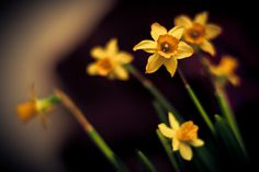 Daffodil - Narcissi tete-a-tete