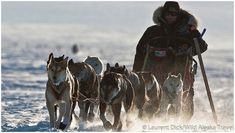 Lance Mackey's Dogs | Can Lance Mackey Win The Yukon Quest And The Iditarod Back to Back One ...
