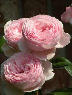 English Roses ~ 'Geoff Hamilton'