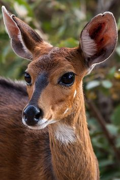 Bushbuck by Hind Photo (Craig & Caroline Hind) Deer Photos, Deer Pictures, Animal Pictures, Forest Animals, Nature Animals, Animals And Pets, Cute Baby Animals, Funny Animals, Animal Original