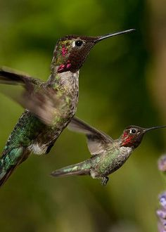 Anna's Hummingbirds in Flight by Kathleen Bishop