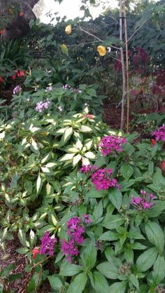 Pentas and impatience