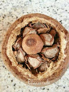 Um ouriço aberto de castanha do Brasil