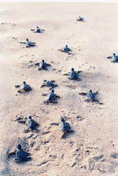 Baby sea turtles stampeding toward the sea. Baby Animals Pictures, Cute Animal Photos, Cute Little Animals, Cute Funny Animals, Cute Baby Turtles, Turtle Baby, Underwater Animals, Turtle Love, Animal Wallpaper