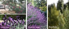 Plants for the Santa Clarita Valley | SCV H2O Programs - Mexican Sage and Lavender for a nice purple color.