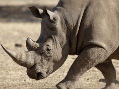 white rhino....old wisdom....