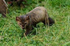 Photo by Jeff Wendorff. American Marten, Pine Marten, Fox, Animals, Ferrets, Cousins, Animales, Animaux, Foxes