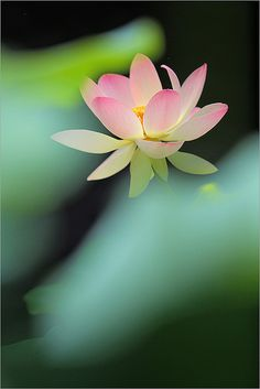 Pink Lotus Flower by Bahman Farzad on Flickr.
