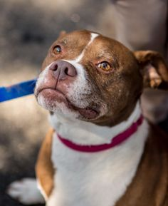 Misty is an adoptable Pit Bull Terrier searching for a forever family near Bridgewater, NJ. Use Petfinder to find adoptable pets in your area.