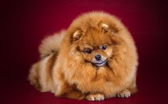 Download wallpapers Pomeranian, puppy, little cute dog, fluffy dog, cute animals, dogs