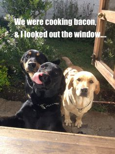 So DogGone Funny!: 16636 - We Were Cooking Bacon, and This is What We...  #dogs #pets #LabradorRetrievers