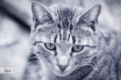 All in the Eyes by AlexSamson1. For more photos: http://photos-cats-kittens.tumblr.com @go4fotos