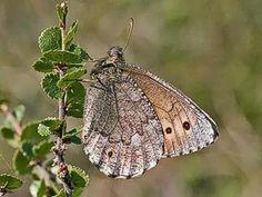 Rämekylmänperhonen, Oeneis jutta - Perhoset - LuontoPortti