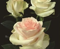 Marzipan - Standard Rose - Roses - Flowers by category | Sierra Flower Finder