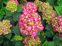 Pink Hydrangea   Many mop-head hydrangeas start out white or green before turning pink ...