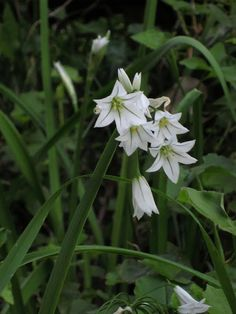 une fleur d'un jour: :: asphodelus fistulosus ::