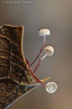 Marasmius hudsonii Carpoforo