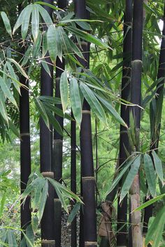 How to Divide & Transplant Black Bamboo Schwarzer Bambus (Phyllostachys nigra) Mehr Phyllostachys Nigra, Landscape Design, Garden Design, Bamboo Crafts, Black Garden, Palmiers, Tropical Garden, Container Plants, Hanging Planters