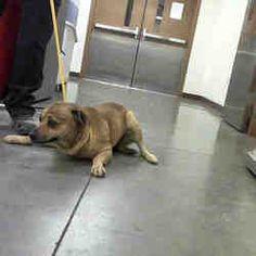 ●1•19•18 SL● •♡•ARIZONA•♡• RICHARD - please save this terrified boy! for adoption in Phoenix, AZ who needs a loving home.