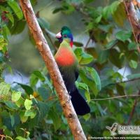 Ruwenzori Turaco found in Burundi, Rwanda, Uganda, Congo Tanzania, Kenya, Big Game, Bird Watching, Tours, Adventure, Vacation, Gallery, Animals