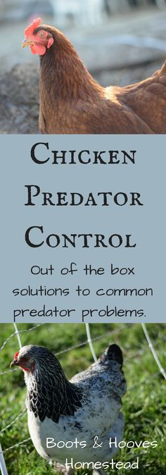 Chicken Predator Control & Out of the Box Solutions - Boots & Hooves Homestead
