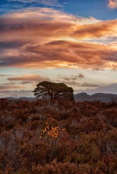 Scotland -- birch and pine  #sunset tree sky clouds