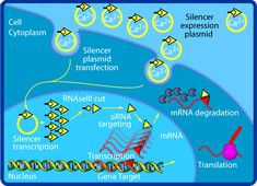 Mediating RNA interference in cultured mammalian cells. Using the method of siRNA in cell culture. Transcription And Translation, Biology Art, Research Studies, Chemistry, Learning, Mysterious, Infographics, Lab, Brain