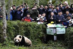 A two-year-old captive-bred panda named Xue Xuewas released on Oct. 14 into China's Liziping Nature Reserve. The giant panda had to be trained in habitat and food selection as well as how to avoid predators. Xue Xue was wary when released into the wild and had to be coaxed out by trainers dressed …