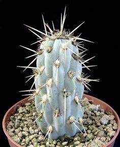 Opuntia miquelii. Opuntia Cactus, Cactus Y Suculentas, Cacti And Succulents, Cactus Plants, Cactus Names, Succulent Images, Green Houses, House Plants, Pink Flowers