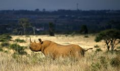 Poachers slaughter rhino in Nairobi national park~ Brazen attack defies Kenya's new stricter laws to protect wildlife as horn is hacked off the animal in heavily guarded sanctuary.