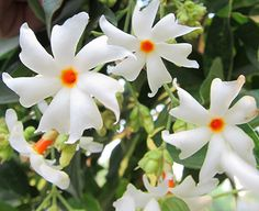 30 Fragrant Jasmine-Night flowering seeds/Nyctanthes arbor tristis/Flower Seeds for sale/Home & garden flower seeds online/Non gmo seeds by plantsnseeds on Etsy https://www.etsy.com/listing/463585832/30-fragrant-jasmine-night-flowering