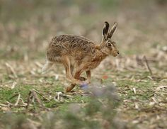 running hare - Google Search