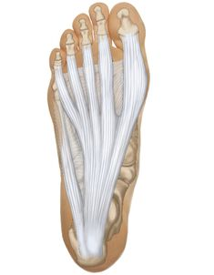This is a view of the bottom (plantar side) of the foot with the plantar fascia. There are a lot of other muscles there that are not shown. ...