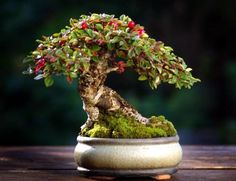 I just think Bonzai trees are so freaking cool. I mean, it's a miniature tree. That's awesome, no matter who you are. And if you're the one person you know that does not agree, just wait. I'm sure you'll see the light when the time is right.  But,  as for me, if I don't have funds for non-practical things just yet, probably won't be buying one.