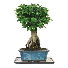 Brussel's Bonsai Gensing Grafted Ficus - The Home Depot Flowering Bonsai Tree, Indoor Flowering Plants, Ficus Tree, Indoor Bonsai, Bonsai Plants, Bonsai Garden, Garden Plants, Bonsai Trees, House Plants