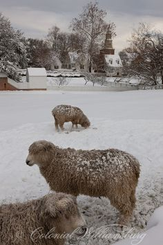 Sheep in winter pasture. Christmas snow in Colonial Williamsburg's Historic Area. Williamsburg, Virginia.