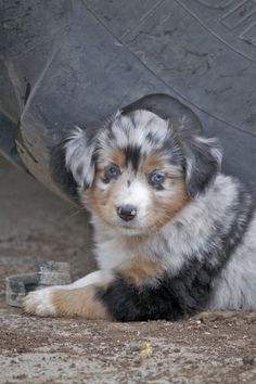 Paint Horses For Sale, Mini Australian Shepards For Sale - The Z Ranch - Cheyenne Wyoming