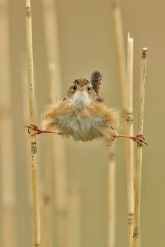 "BIRD: marsh wren (Photo by Roger Eriksson) ~ TOO FUNNY! Bet this little one is saying ""Look Ma! Stilts ~ no wings needed!"""