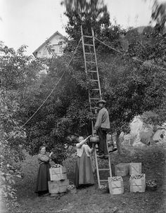 Picking apples in Hardanger, Norway. Early 20th century.Photo Anders P. Wallevik
