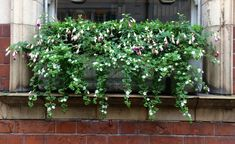 Backed with a subtle wall of boxwood, purple fuchsias dangle over the trailing stems of a white-flowered bacopa (a.k.a. water hyssop).