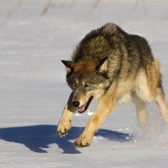 wolfs - wolfs #wolfs