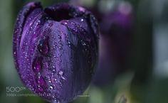 Purple tulip (Mehmet Çoban / ÜSKÜDAR / TÜRKİYE) #PENTAX K-3 II #macro #photo #insect #nature