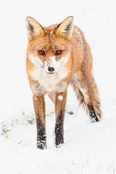 Red Fox by ama1000 on 500px