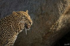 A male leopard demonstrating flehmen and salivating after picking up a female scent.