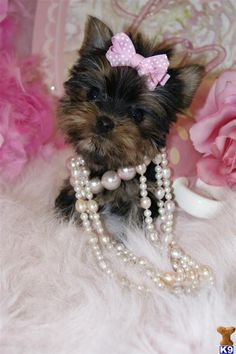 Exactly how a Yorkie would dress, if they could dress themselves. Puppies For Sale, Cute Puppies, Cute Dogs, Dogs And Puppies, Corgi Puppies, Doggies, Teacup Yorkie, Teacup Puppies, Yorkie Puppy