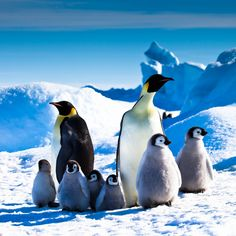 Emperors and Chicks, Snow Hill Island, Antarctica | Geoff Edwards | Flickr
